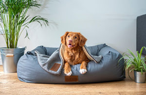 Adorable family dog in a blue puffy bed that's on a new laminate floor.